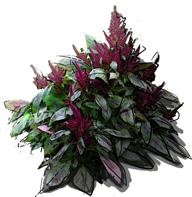 Purple Amaranth