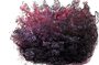 Smoketree 'Royal Purple'