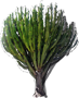 Common Tree Euphorbia