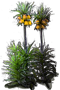 Crown Imperial 'Lutea'