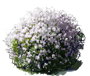 Mme. Lemoine Common Lilac
